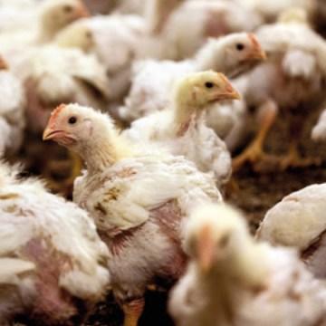 S-Carb®: Fuente de sodio de calidad para la avicultura