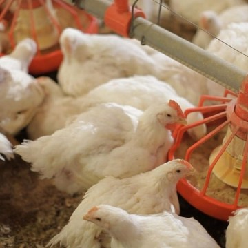 Recomendaciones nutricionales para pollos