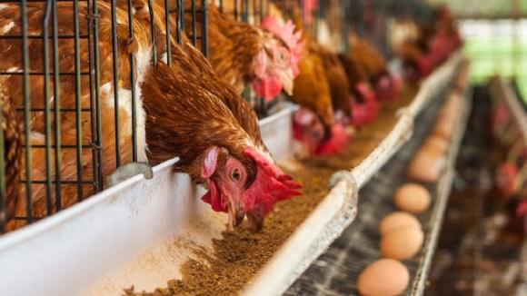 Proteína de origen animal en la formulación de la dieta avícola