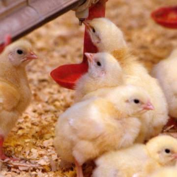 Estudio comparativo en la utilización de bebederos campana versus tipo tetina en pollos de carne (Parte 2)