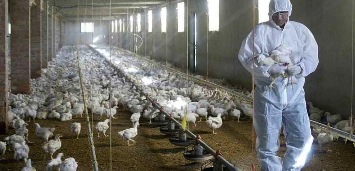 España: investigarán el papel de la microbiota de las aves frente a la gripe aviar
