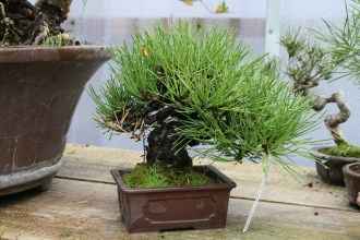 Bonsai san 12 - pinus thunbergii