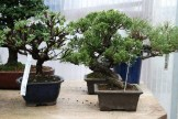 Bonsai san 14 - junioerus chinensis