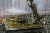 Bonsai san 16 - quercus - chêne