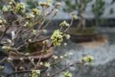 Bonsai san 18 - quercus - chêne