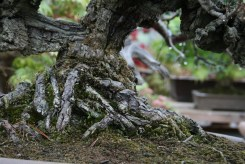Bonsai san 22 - pinus thunbergii corticosa