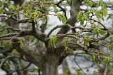 Bonsai san 30 - carpinus - charme