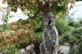 Bonsai san 37 - acer buergeranium sur roche