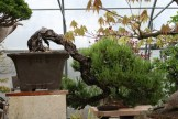 Bonsai san 41 - pinus thunbergii