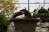 Bonsai san 04 - pinus thunbergii semi-cascade