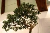 selection régionale EST 2012 - bonsai buis 2