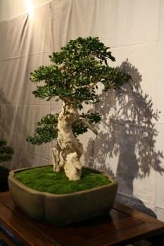 selection régionale EST 2012 - bonsai buxus 10