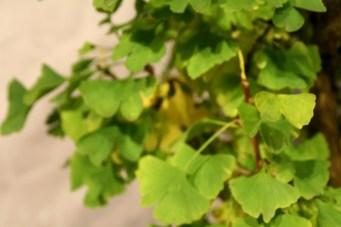 selection régionale EST 2012 - bonsai ginkgo biloba 2