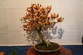 selection régionale EST 2012 - bonsai hetre 2