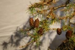 selection régionale EST 2012 - bonsai larix 2