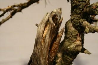 selection régionale EST 2012 - bonsai larix 4 bois morts