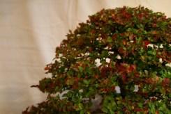 selection régionale EST 2012 - bonsai orme de chine 6