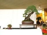 selection rhone alpes bonsai 2012 04