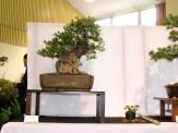 selection rhone alpes bonsai 2012 05