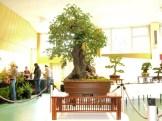 selection rhone alpes bonsai 2012 10