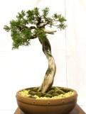 selection rhone alpes bonsai 2012 102