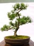 selection rhone alpes bonsai 2012 104