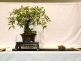 selection rhone alpes bonsai 2012 11