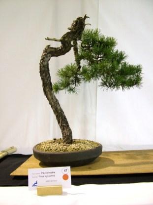 selection rhone alpes bonsai 2012 121