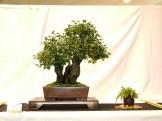 selection rhone alpes bonsai 2012 13