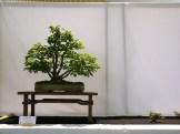 selection rhone alpes bonsai 2012 17