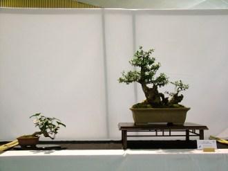 selection rhone alpes bonsai 2012 18