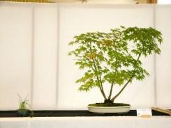 selection rhone alpes bonsai 2012 20