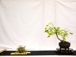 selection rhone alpes bonsai 2012 30