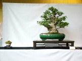 selection rhone alpes bonsai 2012 35