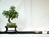 selection rhone alpes bonsai 2012 36