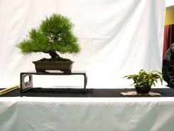 selection rhone alpes bonsai 2012 41