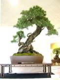 selection rhone alpes bonsai 2012 55