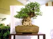selection rhone alpes bonsai 2012 57