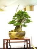 selection rhone alpes bonsai 2012 60