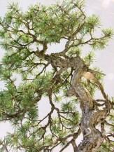 selection rhone alpes bonsai 2012 65