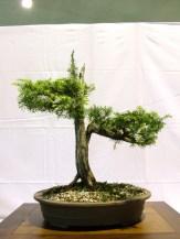 selection rhone alpes bonsai 2012 66