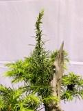 selection rhone alpes bonsai 2012 67