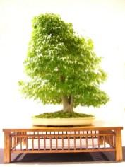 selection rhone alpes bonsai 2012 73