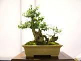 selection rhone alpes bonsai 2012 79