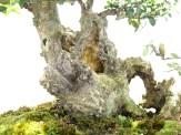 selection rhone alpes bonsai 2012 80