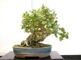 selection rhone alpes bonsai 2012 81
