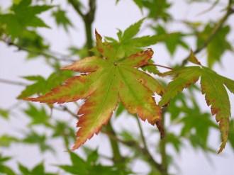 selection rhone alpes bonsai 2012 83