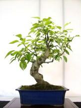 selection rhone alpes bonsai 2012 92