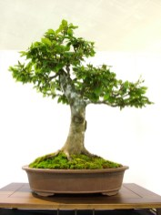 selection rhone alpes bonsai 2012 93