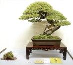 Kokufu 2013 prize - pinus parviflora